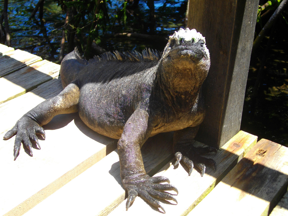 An iguana poses on the penguin dock .