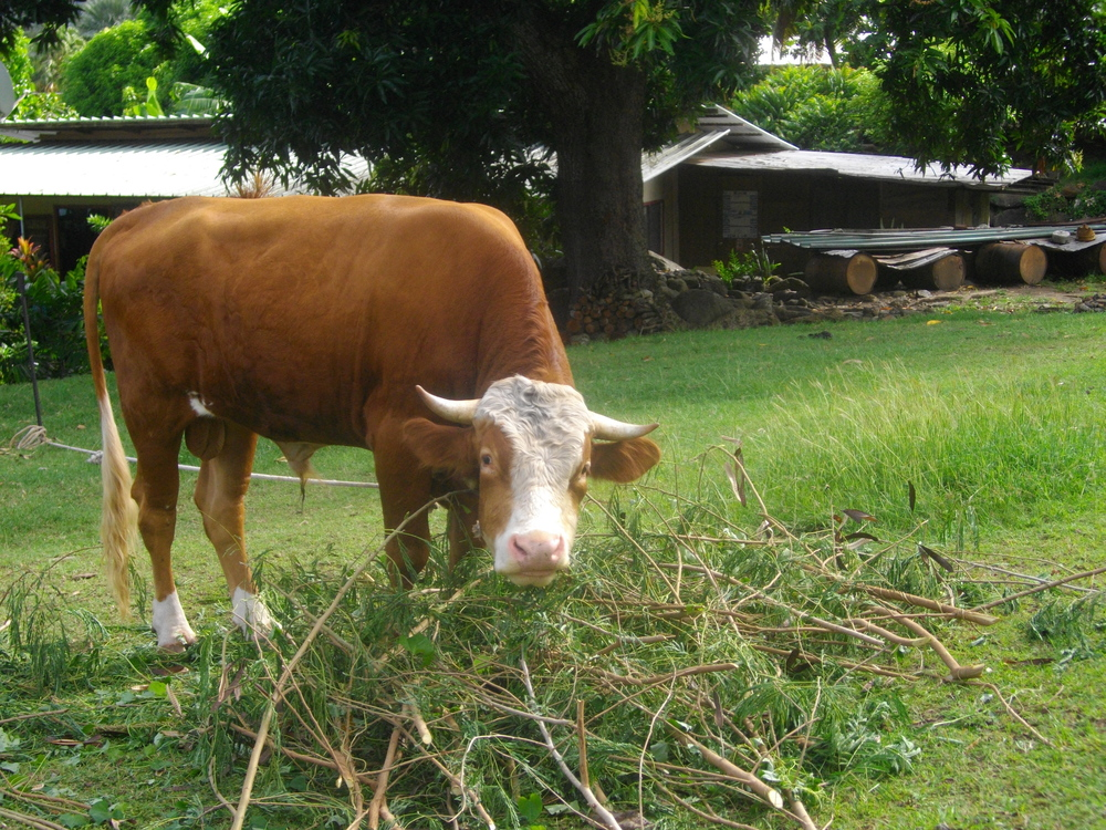 Taking care of cows and horses is part of everyday life for children on Nuku Hiva.