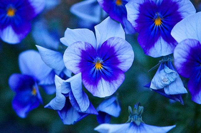Blue-Pansies-Web.jpg