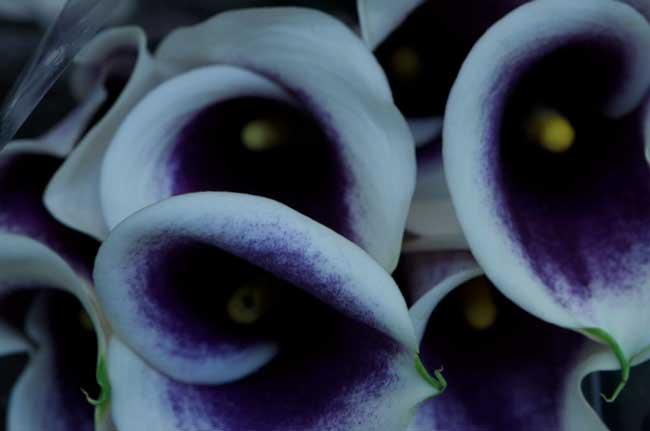 Calla-Lily-Purple-Center-Web.jpg