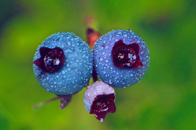 Blueberry-Bud-Web.jpg
