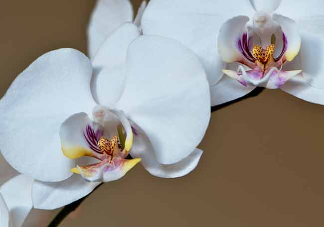 White-Orchid-Web.jpg