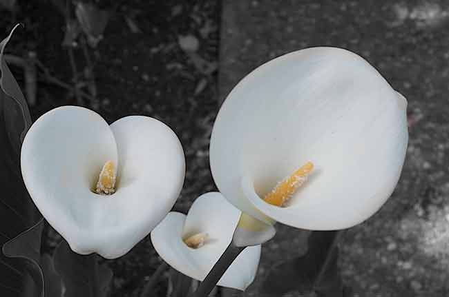 White-Calla-Lily-Web.jpg