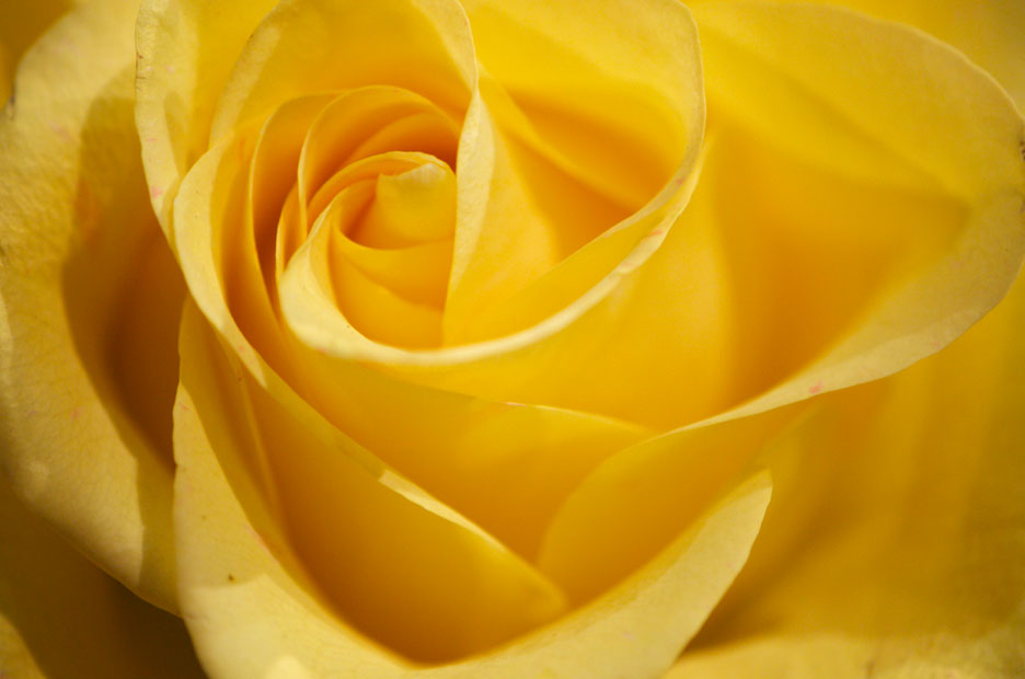 Yellow-Rose-Bud-Web-.jpg