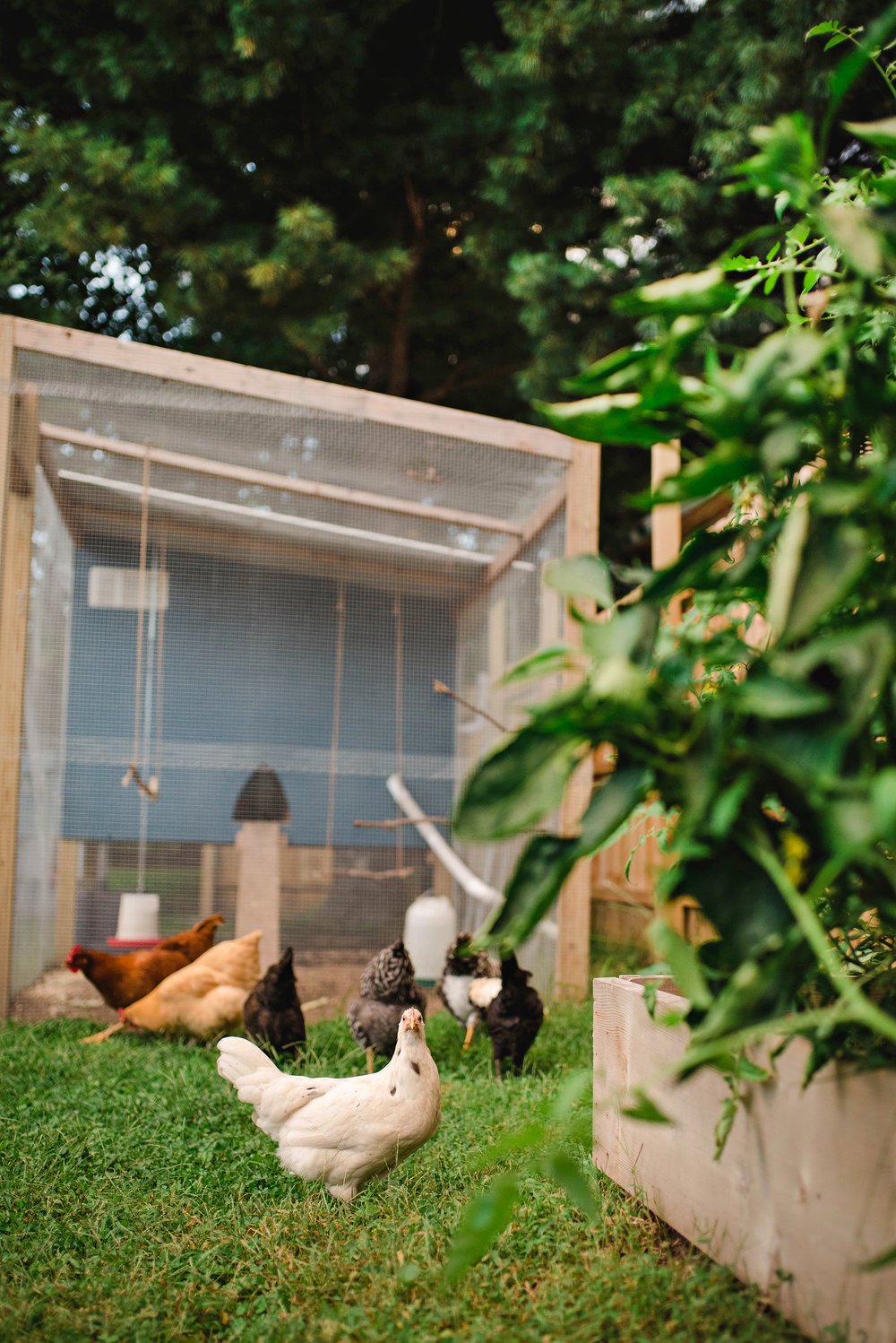Jennifer Lee Photography Quincy, IL Urban Chicken Farming