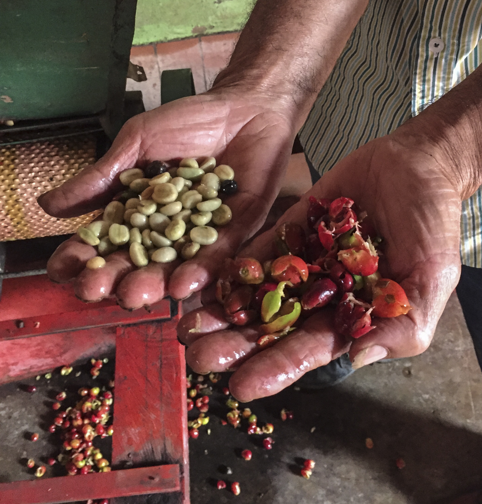 Coffee cherries, freshly milled to separate the skin from the bean.