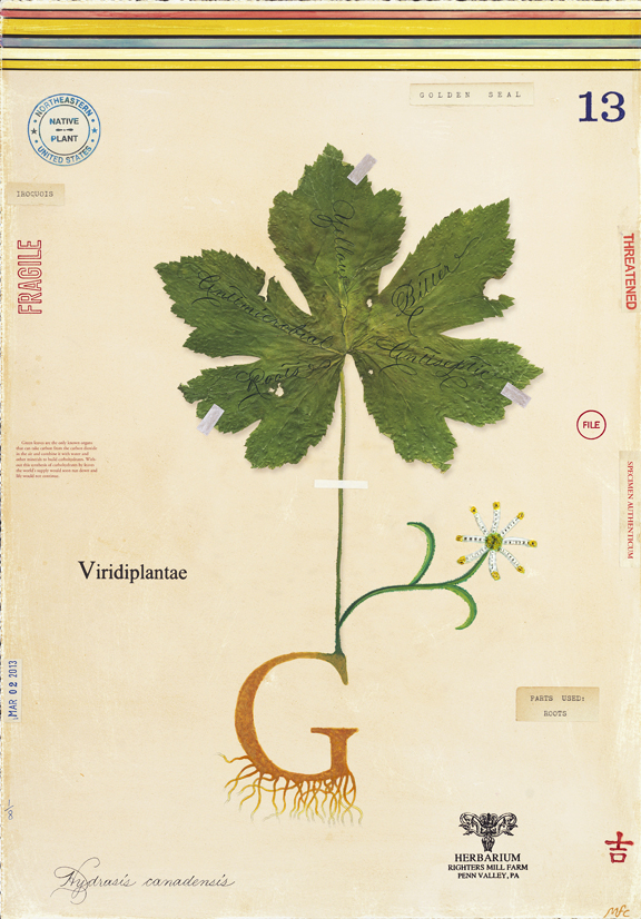 G is for Goldenseal - 24x18
