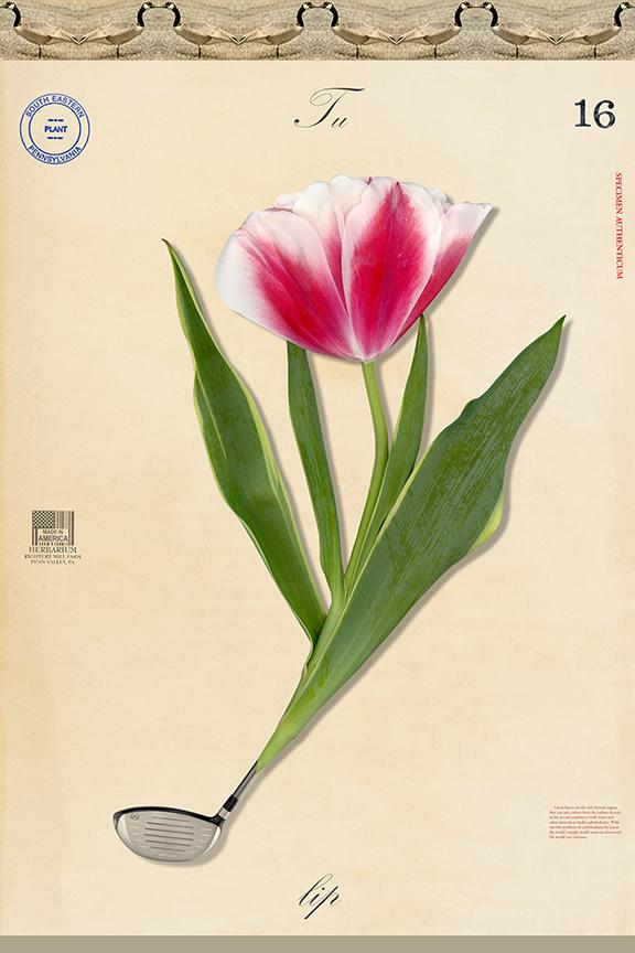 Tulip Club - 27x18