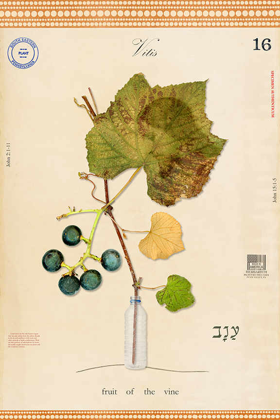 "Wild Grape , 27""x18"", ed. 1/8"
