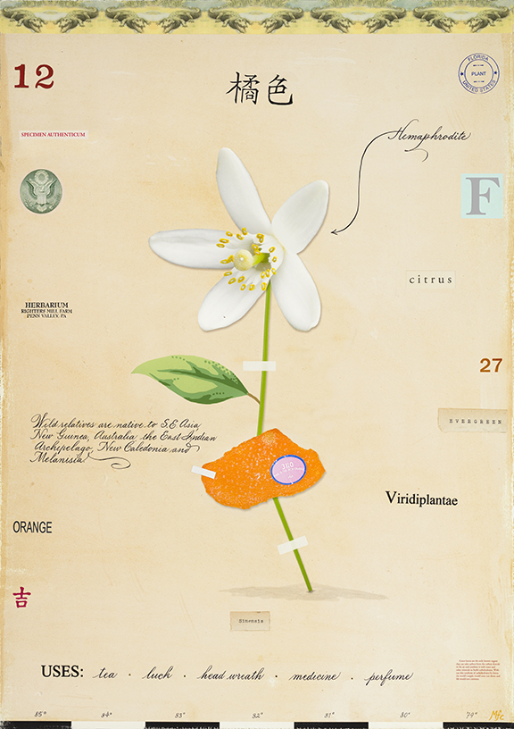 Orange Blossom with Peel - 24x18