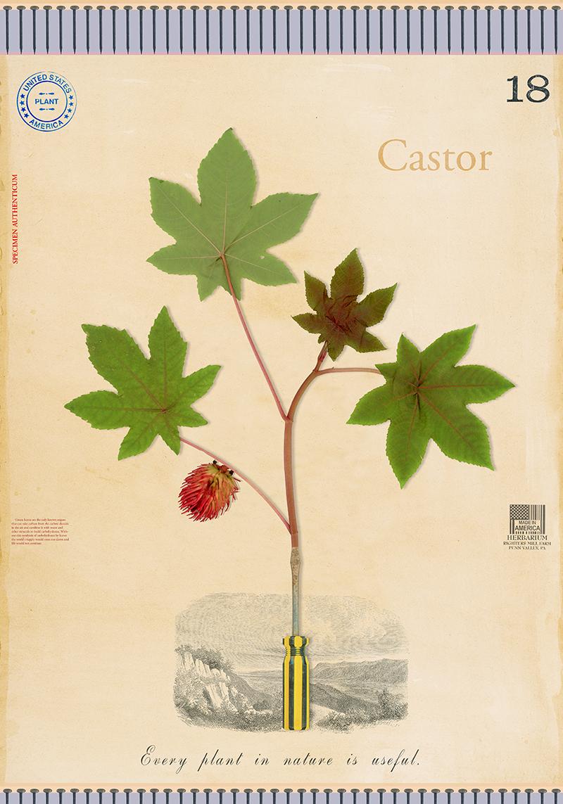 Castor Bean - 20x14