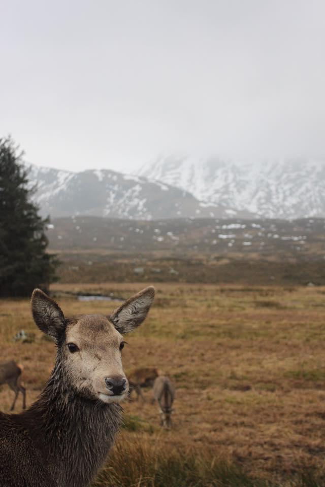 Wild Deer - Glen Coe, Scotland 2015