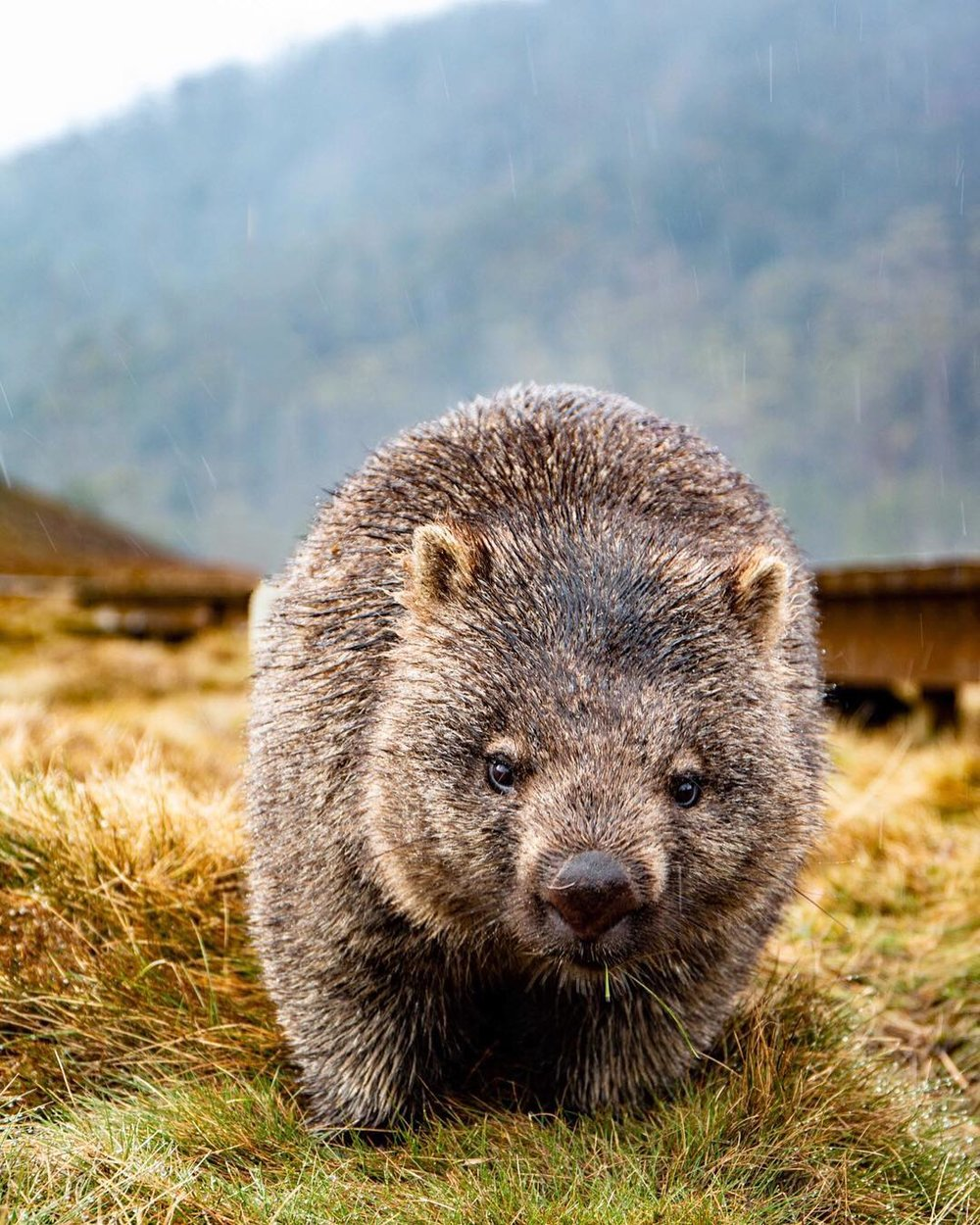 Wombat, Cradle Mountain, Tasmania