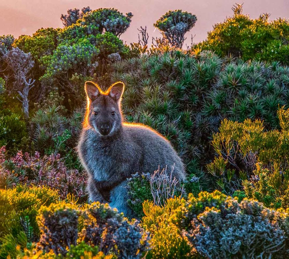 Golden Wallaby, Mt Wellington, Tasmania