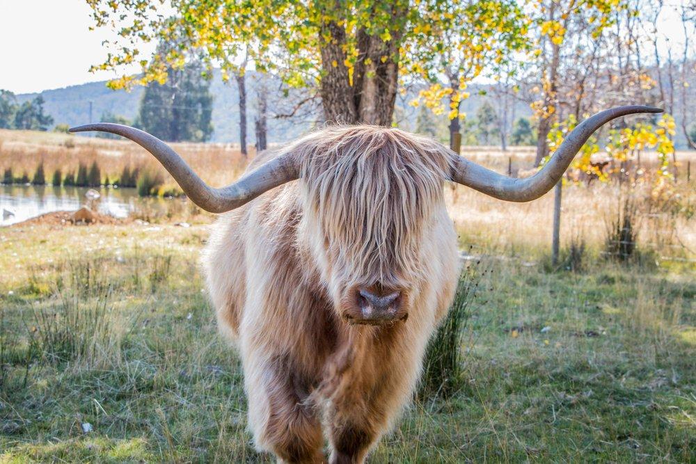 Highland Cow, Tarraleah, Tasmania