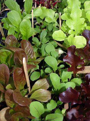 More+lettuce.JPG