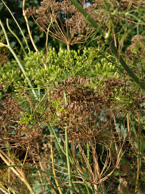 Dill+Umbels+Green.JPG