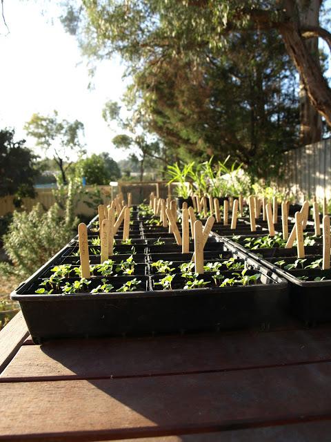 Seeds+Germinating.JPG