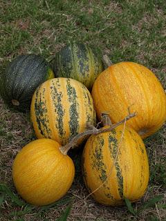 Styrian+Hulless+Pumpkins.JPG