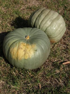 Jarrahdale+Pumpkins.JPG