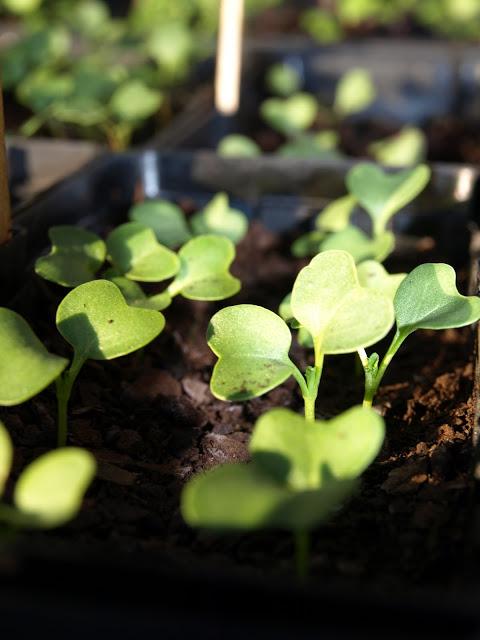Cabbage+germinating.JPG