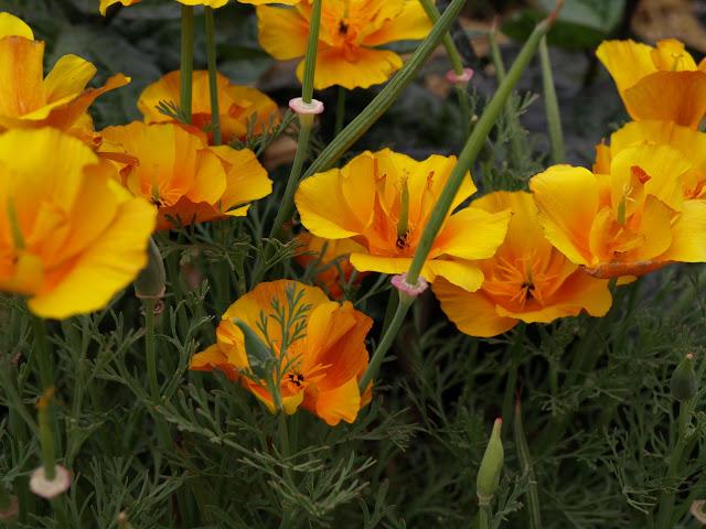 Californian+Poppies.JPG