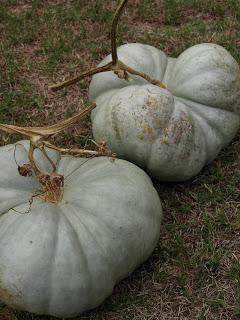Triamble+Pumpkins+%25282%2529.JPG