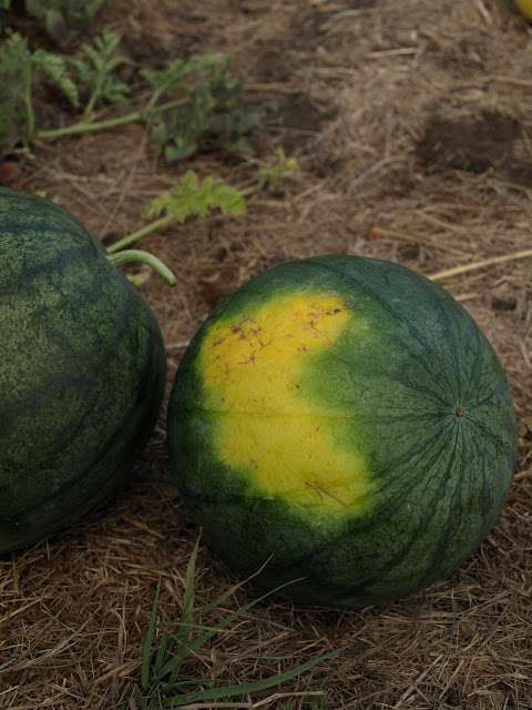 Ripe+Watermelon.JPG