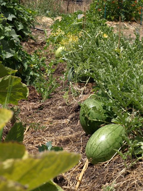 Melons+Growing.JPG