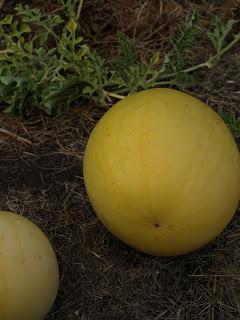 Golden+Midget+Watermelon.JPG