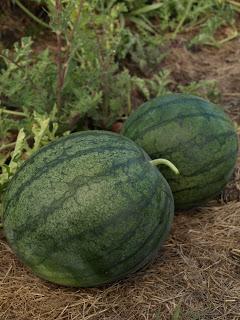 Blacktail+Mountain+Watermelon.JPG