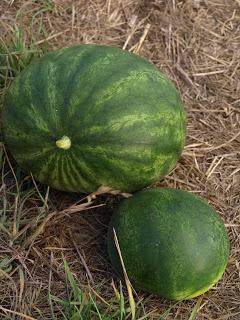 Sugar+Baby+Watermelon.JPG