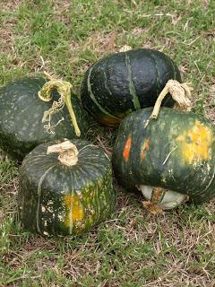 Buttercup+Pumpkins.JPG