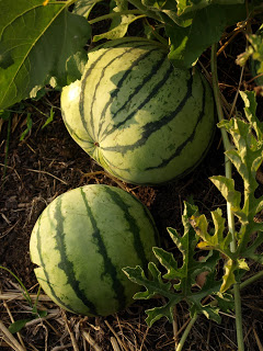 Cream+of+Seskatchewan+Watermelon.JPG