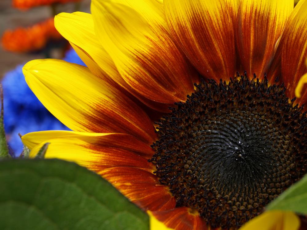 Solar Flash Sunflower