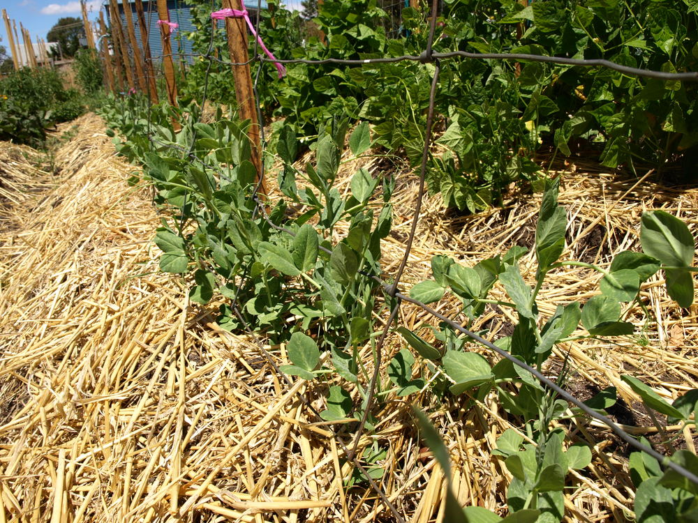 the direct sown peas are a big success