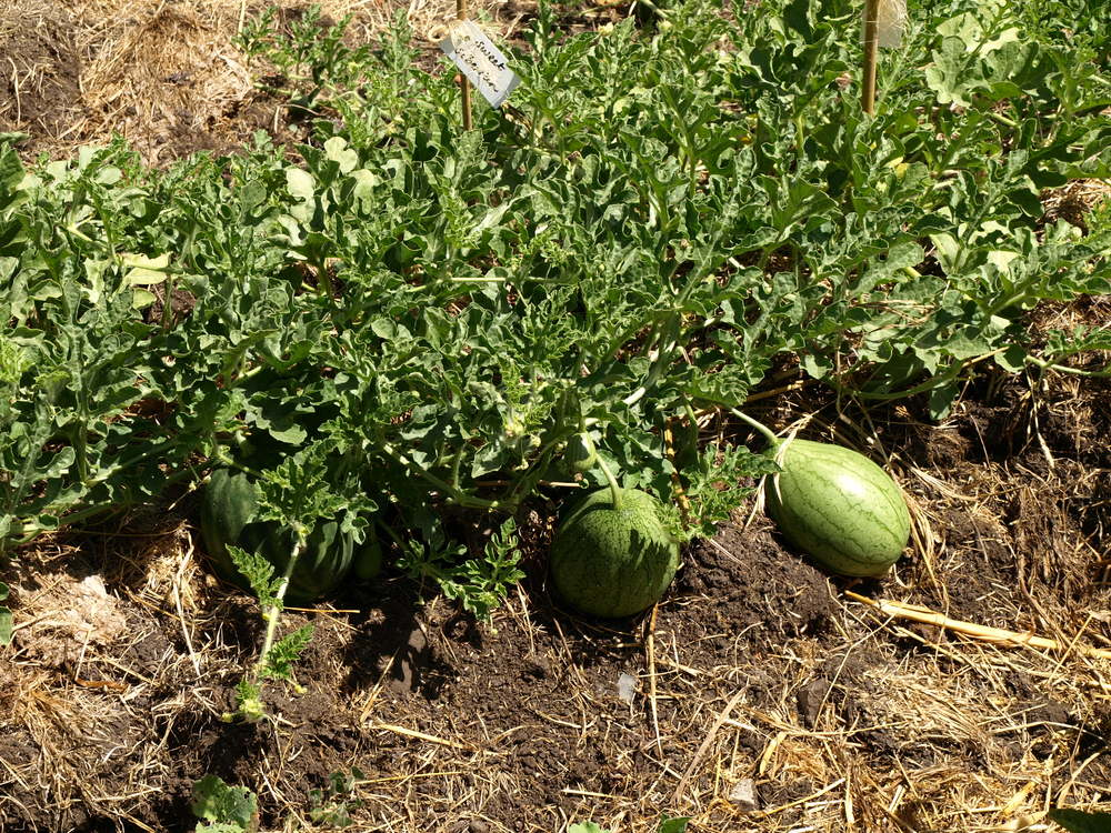 baby watermelons