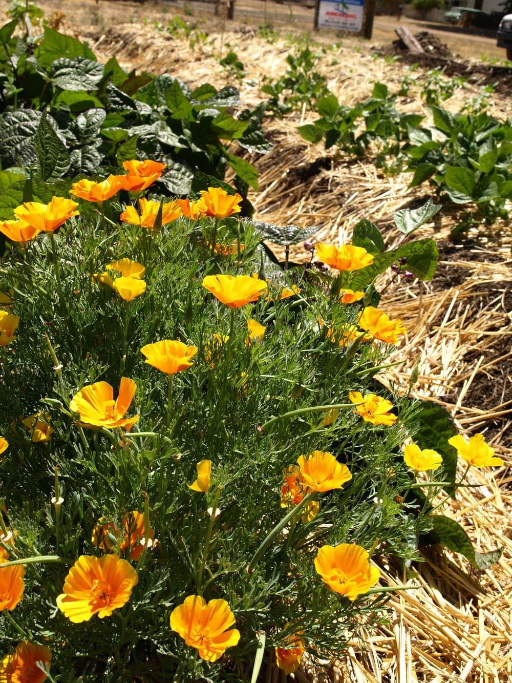 and these poppies
