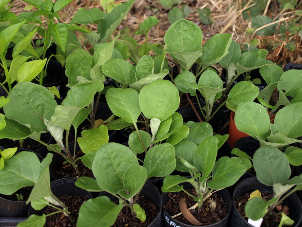 eggplants seedlings ready to be planted