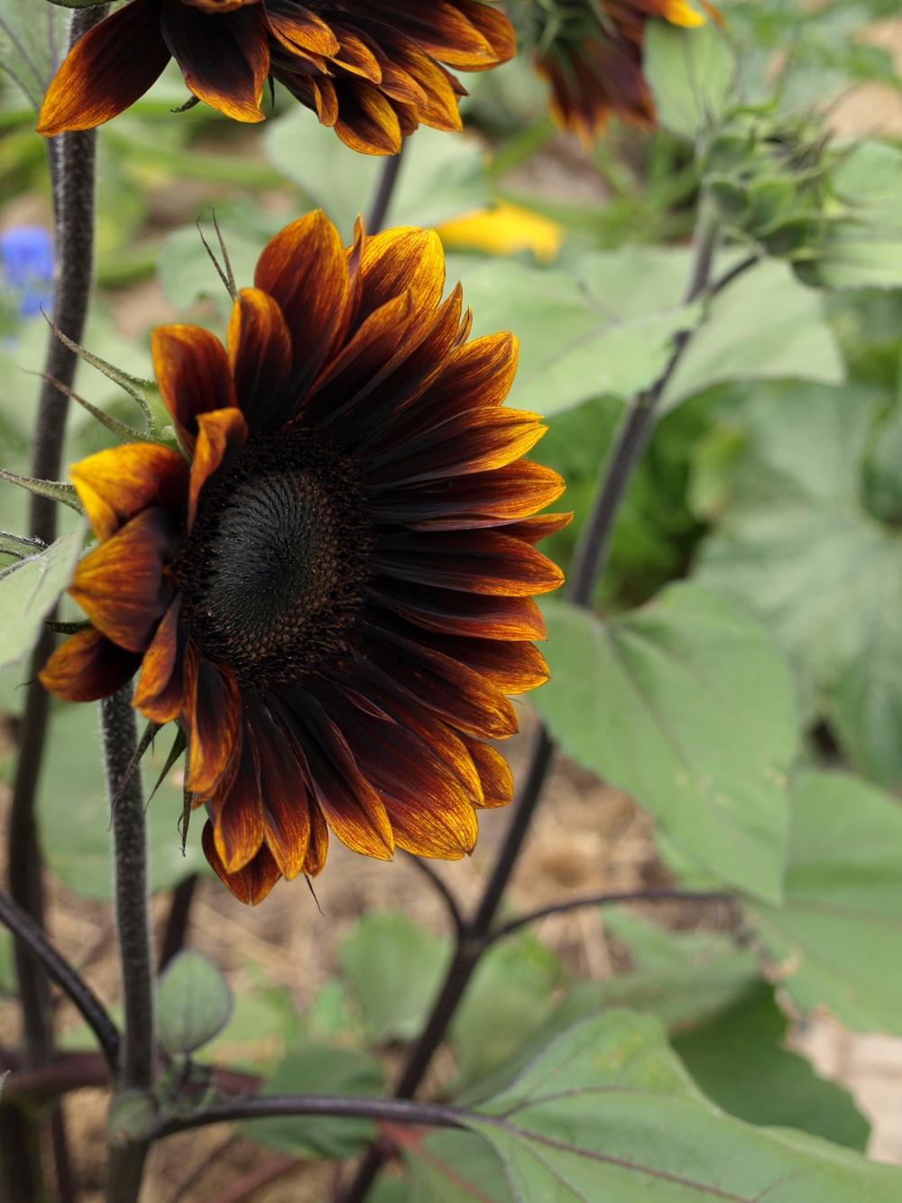 royal velvet sunflower