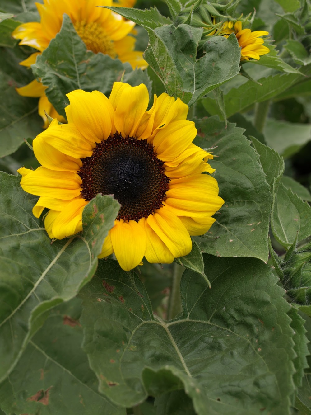 Dwarf Sunsation sunflowers