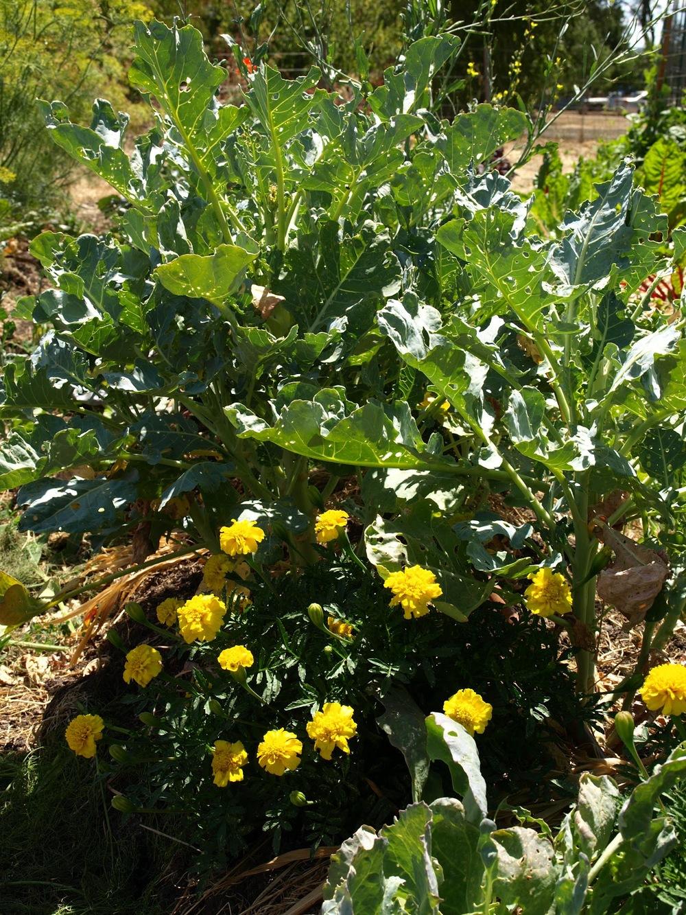 Broccoli and marigolds