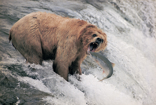 2 silverbacks vs a male grizzly whowouldwin for Bear catching fish