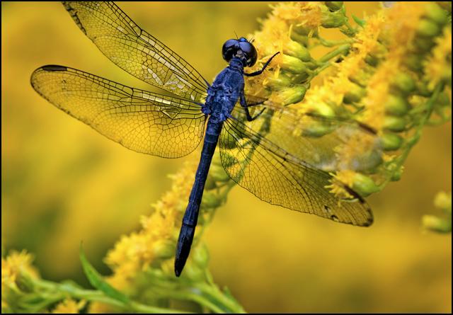 Dragonfly-blue-skimmer-21886-lr.jpg