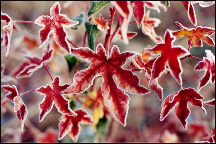 red-maple-leaves-and-frost kevin flemming.jpg
