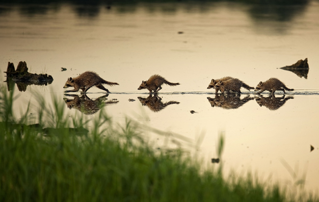 Bombay-Hook-raccoons.jpg