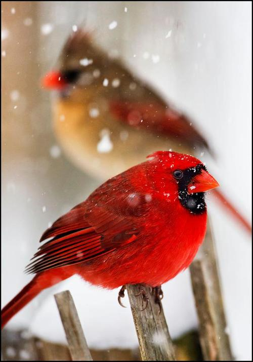northern cardinals in snow kevin fleming photography