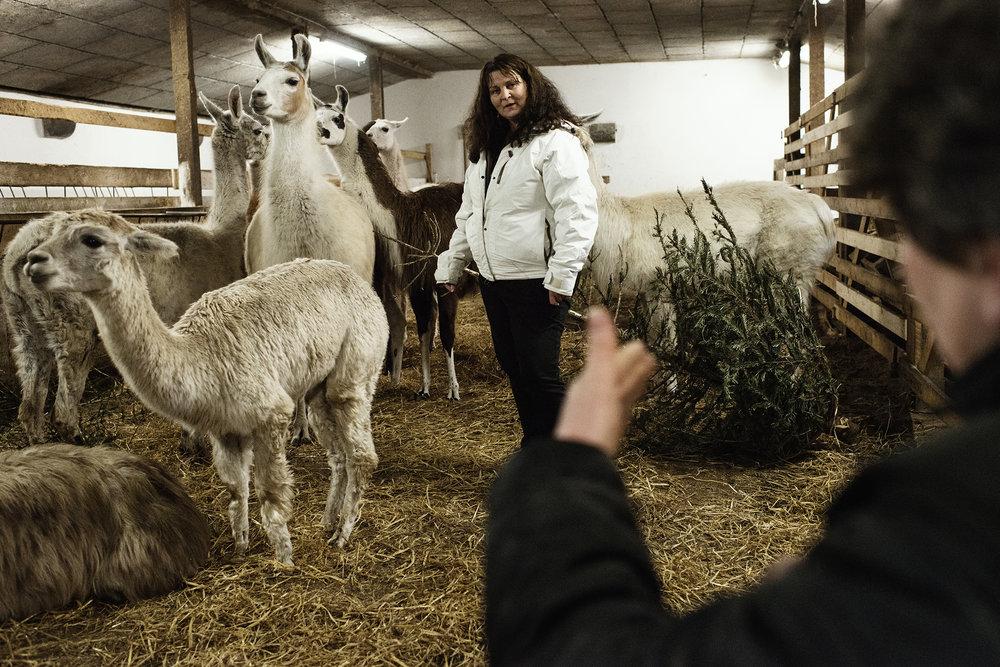 """Der er helt stille i laden. Det eneste, man kan høre, er smasken og åndedrættet fra de 16 lamaer, der spiser og traver rundt. """"Først hilser de, og så afventer de,"""" forklarer Beate Regnery, der holder stresskursus med lamaerne for Tina Erlang. Til daglig arbejder Tina Erlang i Socialt Rehabiliterinscenter i Esbjerg, hvor det er hende, der skal sørge for at berolige kollegaer og patienter, men nu er det lamaernes tur til at sørge for, at Tina Erlang finder roen."""
