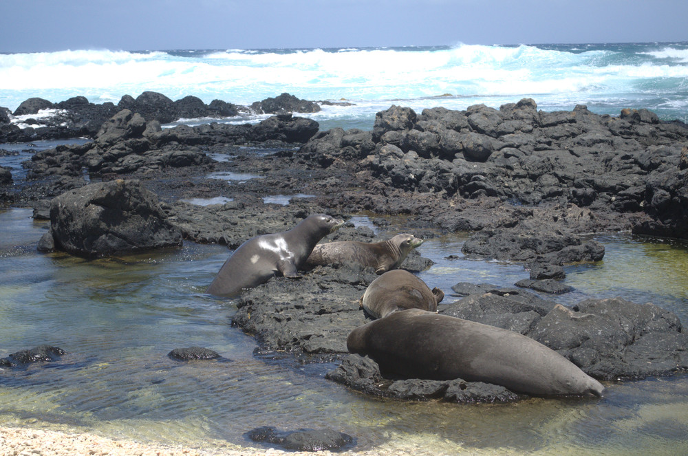 kaena-point-monk-seals