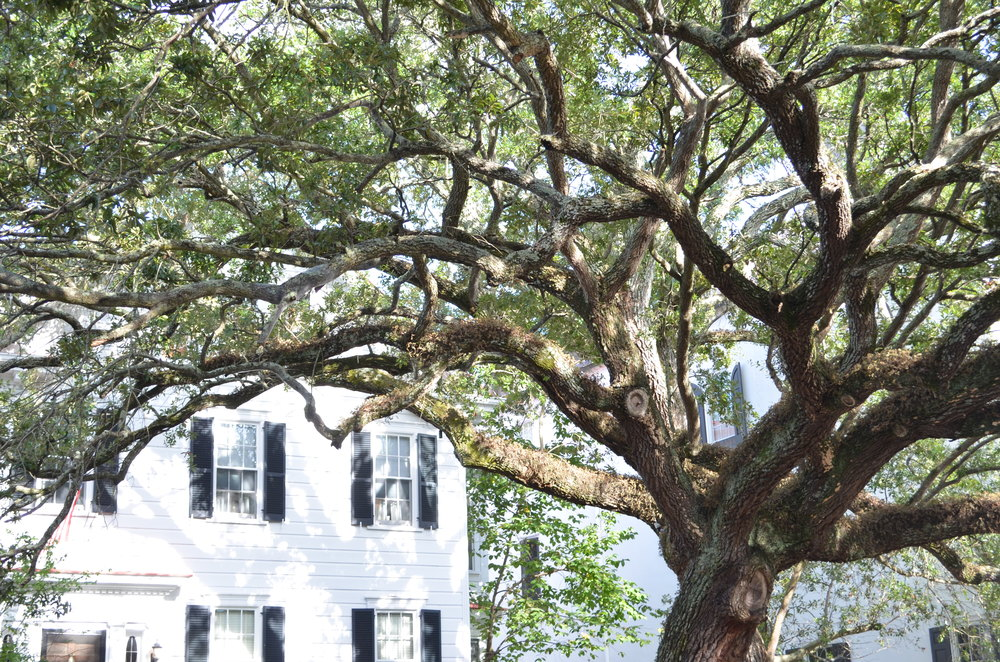 oak-tree-charleston-sc